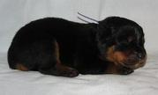 rotweillers puppies(chantehc@yahoo.com)