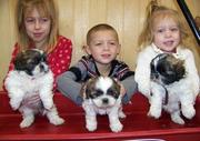 UKC Family Raised Shih Tzu Puppies