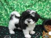 PURE BREED HAVANESE AVAILABLE NOW.