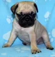 sweet pug puppies male and female for sale.
