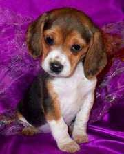 Registered Beagle Puppies KC And UKC Registered