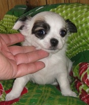 Chihuahua Puppies for new rehome.
