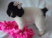 cute Poodle puppies for sale.