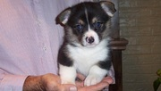playful Pembroke Welsh Corgi puppies for sale.