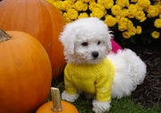 beautiful Bichon Frise puppies.