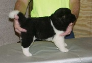 wonderful Akita Puppies For Sale.