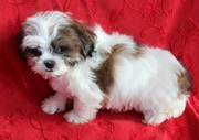 Shih Tzu Puppies For Sale .