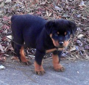 very cute Rottweiler pups for sale.