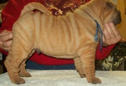 Chinese Shar-Pei Puppies For Sale.