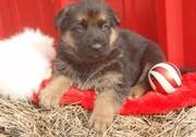great German Shepherd Dog puppies.