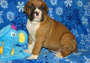 Boxer Puppies For Sale.