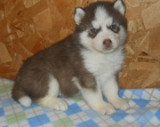 Siberian Huskies For Sale.
