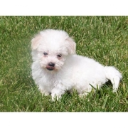 Gorgeous Bichon Frise Puppies