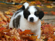 kc lovely and chaeming st bernards puppies for free adoption