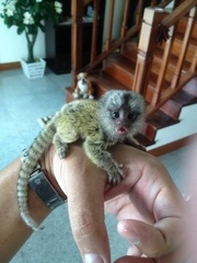 BJHB  Capuchin pygmy marmoset available 07031964582