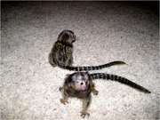 JH76  Males and Females Adorable Twin Pygmy Marmoset and Capuchin 0703