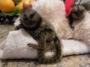 DJR VPairs Capuchin pygmy marmoset available 07031956739
