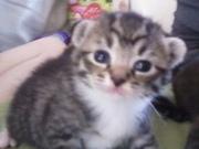 manx kittens