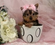 Akc register Yorkshire terrier babies available for Adoption.