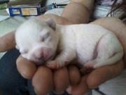 stunning chihuahua pups dlc 3 gen ped