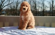 Standard Poodle(chantehc@yahoo.com)
