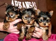 Talanted cute tiny teacup yorkie puppies for free adoption
